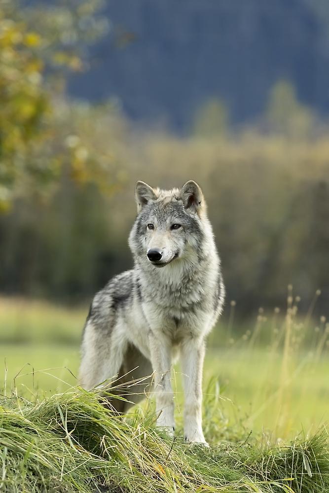 Волк - фото из интернета