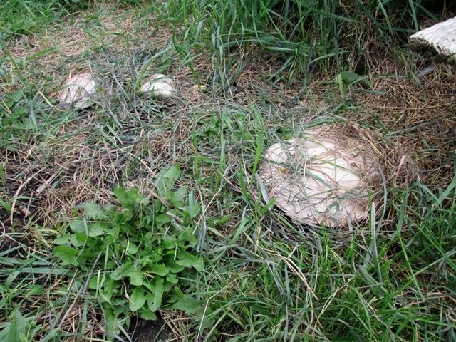 грибы губы фото