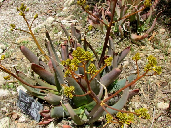 Aloe buhrii IMG_7983