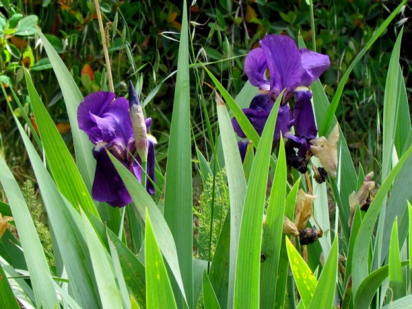 Iris germanica IMG_7740