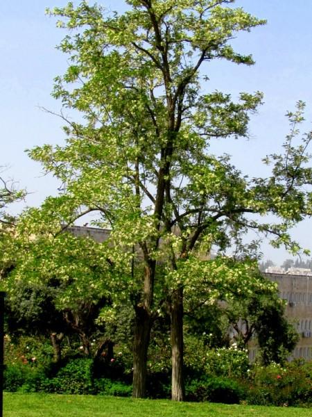 Robinia pseudoacacia IMG_7753