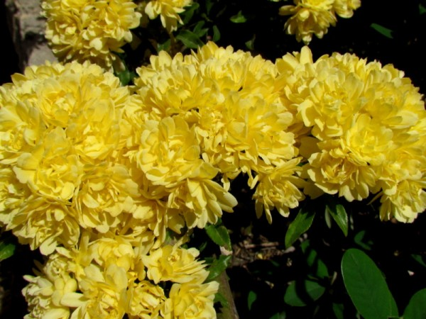 Rosa banksiae 'Lutea' IMG_7748-001