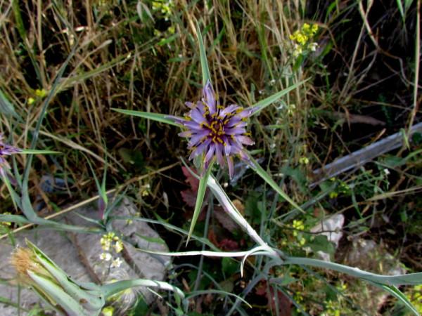Tragopogon longirostris IMG_7688