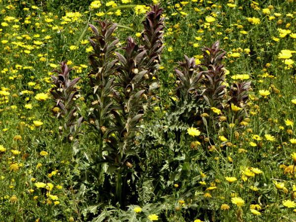 Acanthus syriacus P4190822
