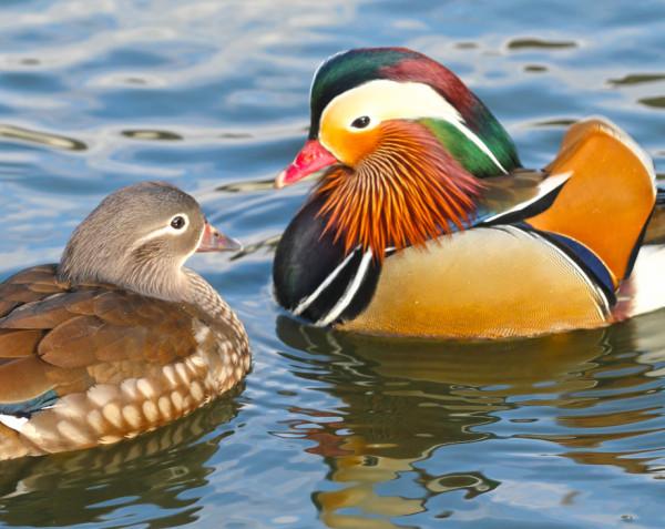 Пернатая радуга: 10 примеров полового диморфизма среди птиц