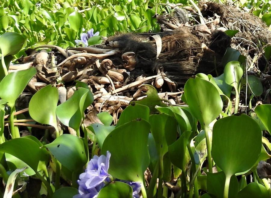 Водные гиацинты