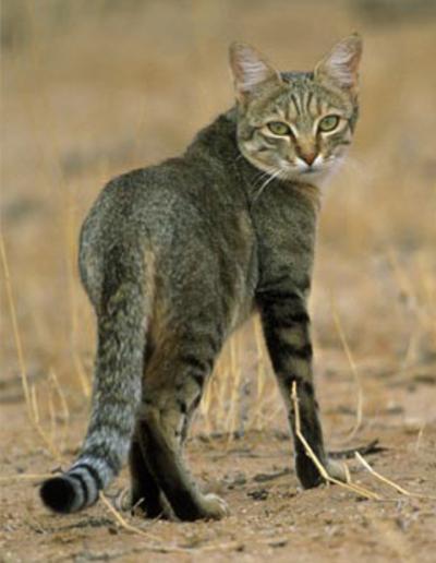 Малайская выдра интересное о котах
