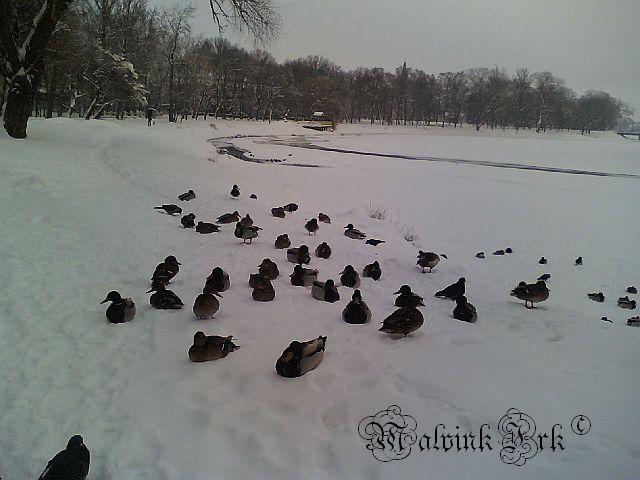 Утки на городском озере 20101231_100407