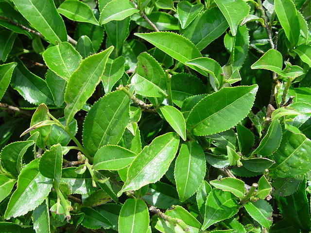 чай.листья