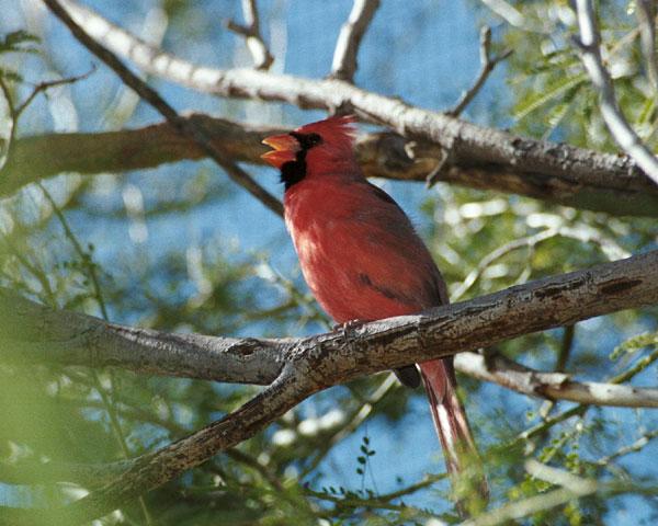Cardinal-singing   КАРДИНАЛ - МАЛЬЧИК   АМЕРИКА