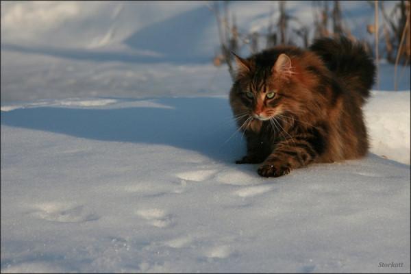 NORVEGIAN  CAT