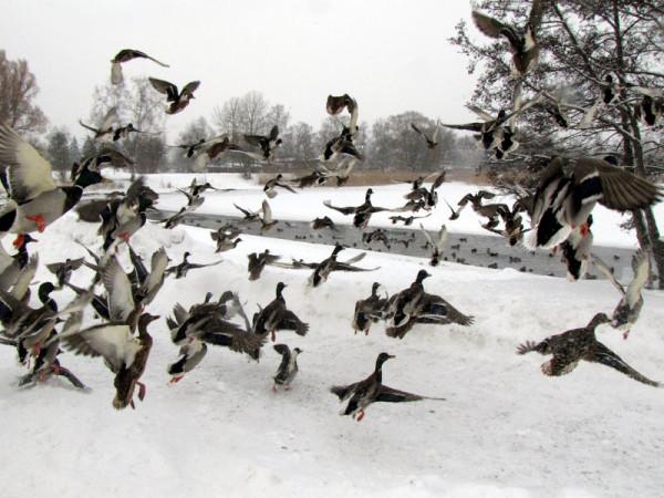 снег 026    УТКИ  В СТОКГОЛЬМЕ