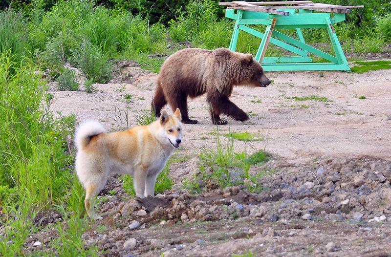 собака с медведем
