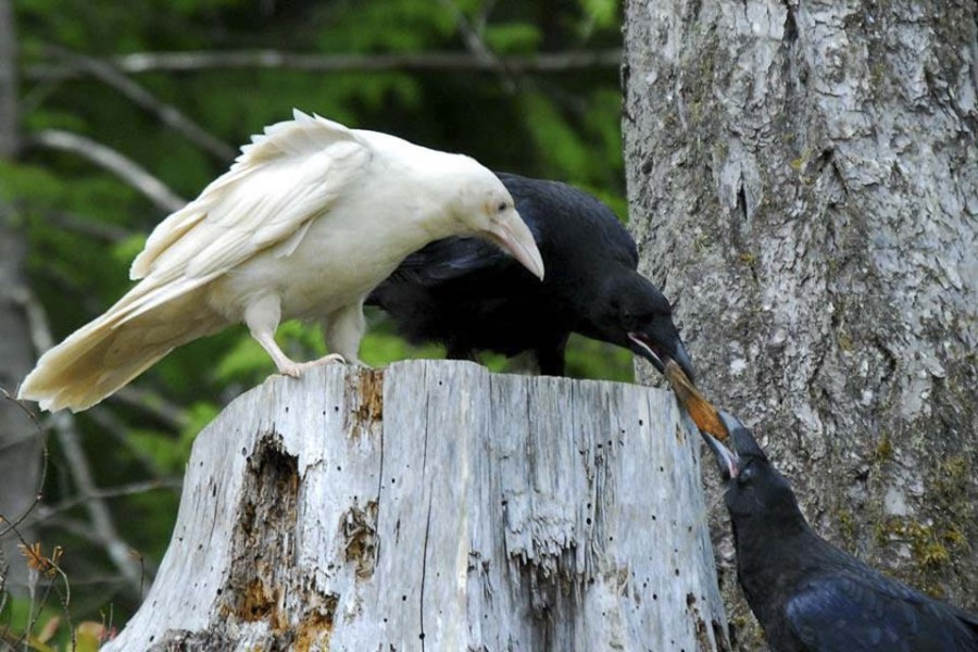 Corbeau-blanc