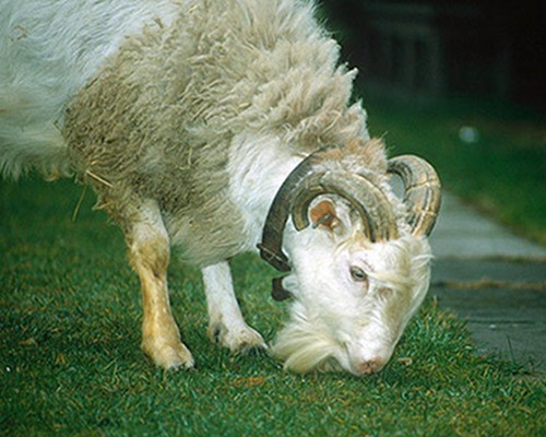 sheep-goat