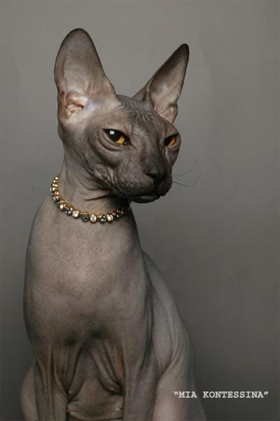 сфинкс донской кошка фото