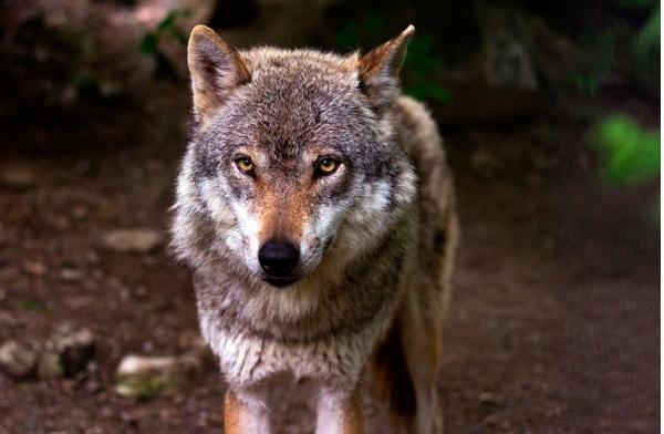 Пришедший из леса в больничный городок матерый волк, сел на прогулочной дорожке
