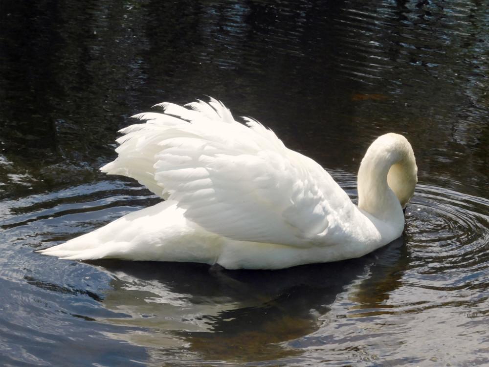 imageblog svan lake.jpg