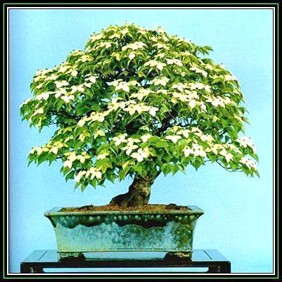 161221213505_Cornus kousa var chinensis Main Pic2.jpg