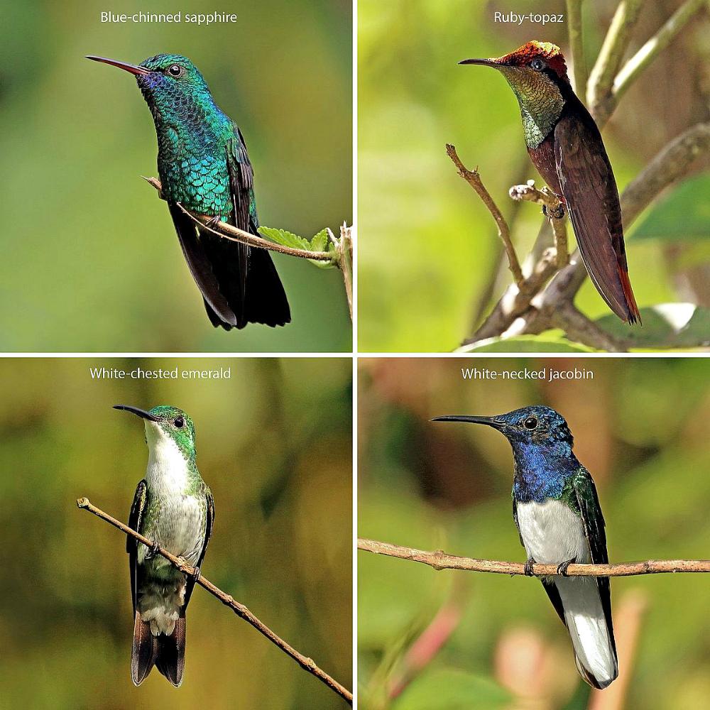 Trinidad_and_Tobago_hummingbirds_composite.jpg