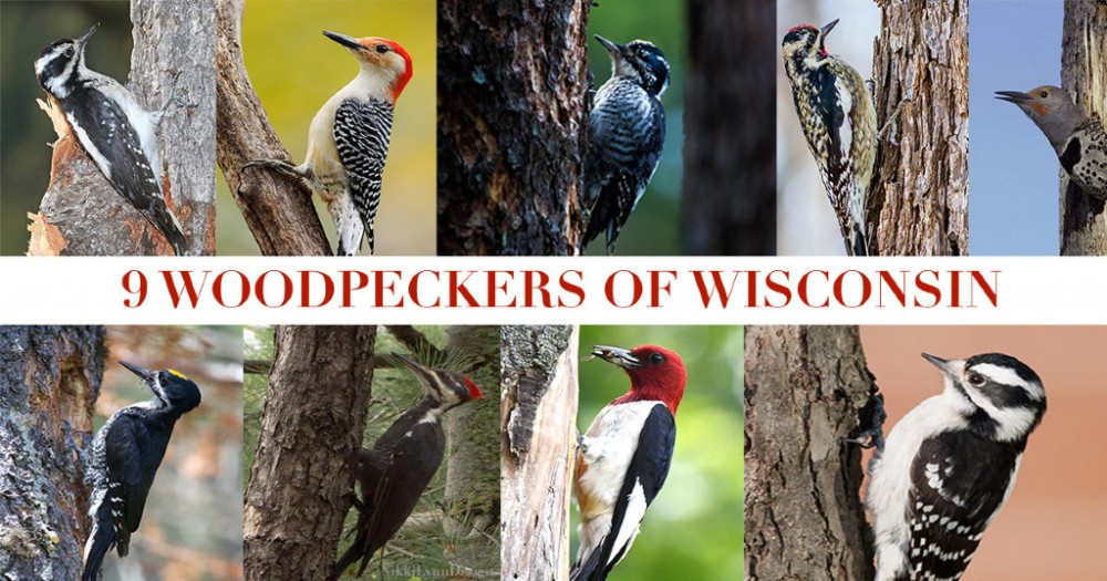 9-Woodpeckers-of-Wisconsin-NEW.jpg