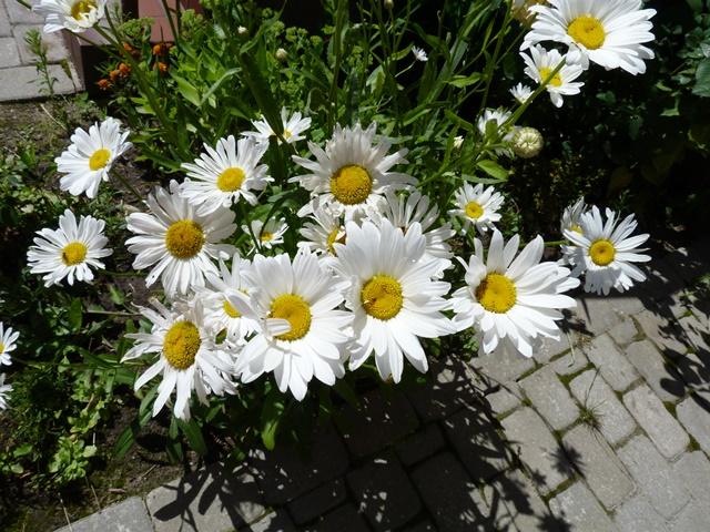 цветы уличные картинки: