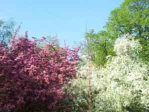 Яблони в цвету 5.jpg