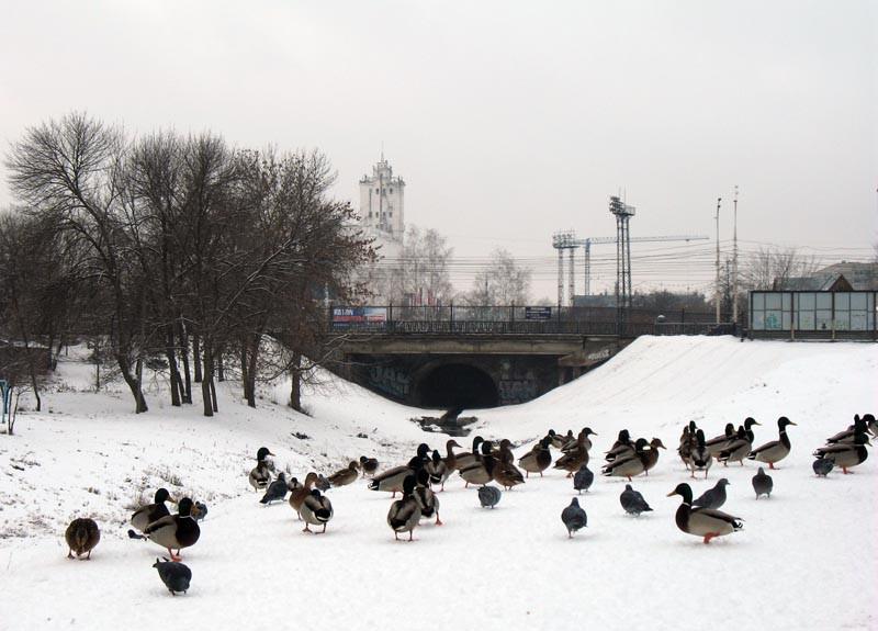 Утки у Державинского моста. Фото 4 января 2013 г.
