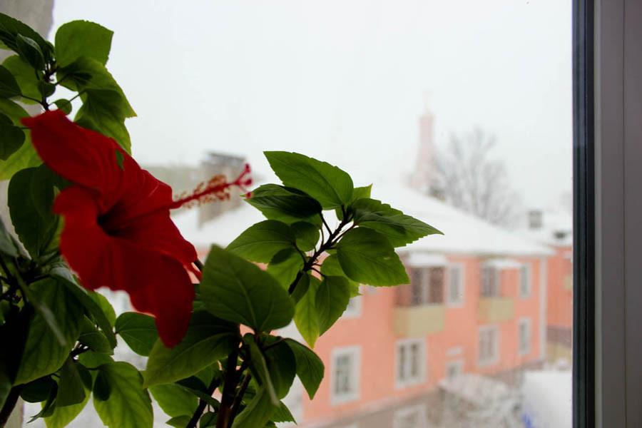 Цветет китайская роза 1