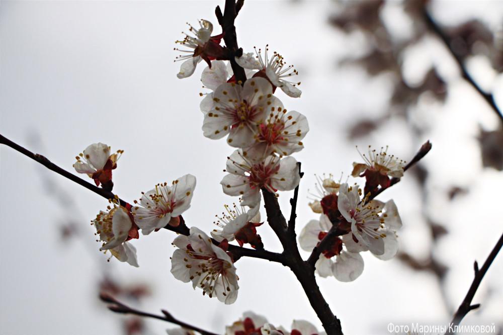 Цветет абрикосовое дерево. Фото 24 апреля 2020 года