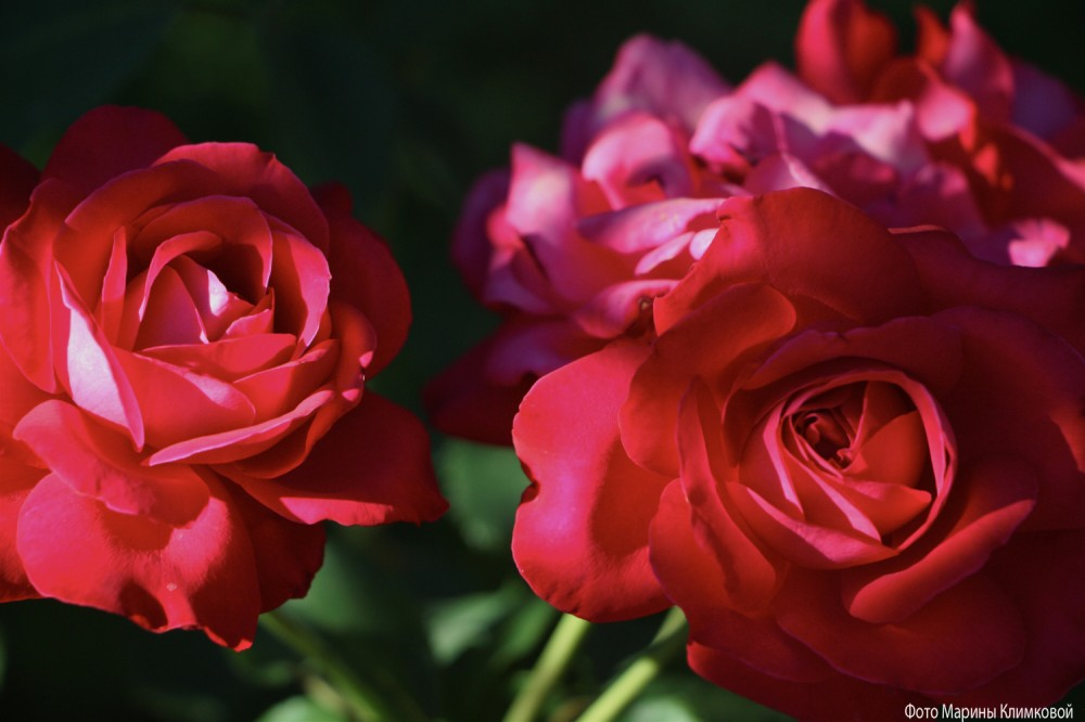 Розы. Фото 12 июля 2020 года