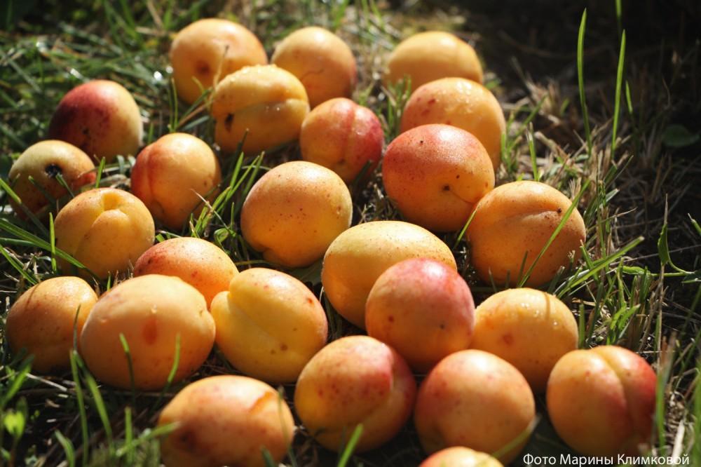 Мои абрикосы. Фото 21 июля 2020 года