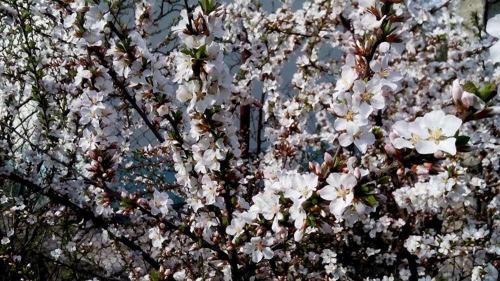 Цветет войлочная вишня. Фото 2 мая 2021 года