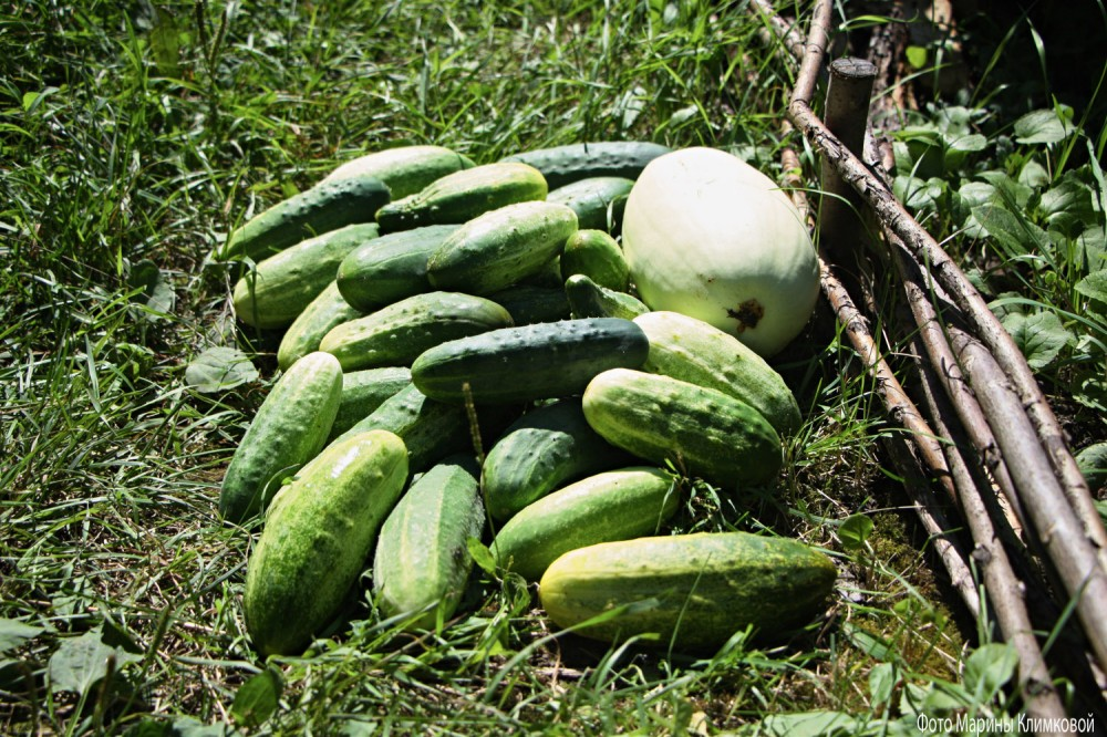 Урожай огурцов. Фото 13 июля 2021 года