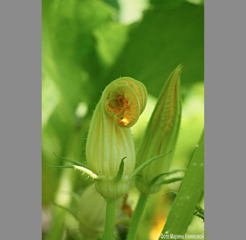 Цветы кабачка