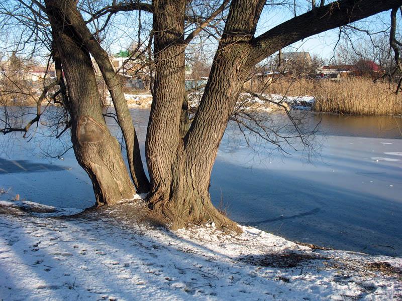 Дерево на Набережной реки Цны. Тамбов. Фото 12 декабря 2012 г.