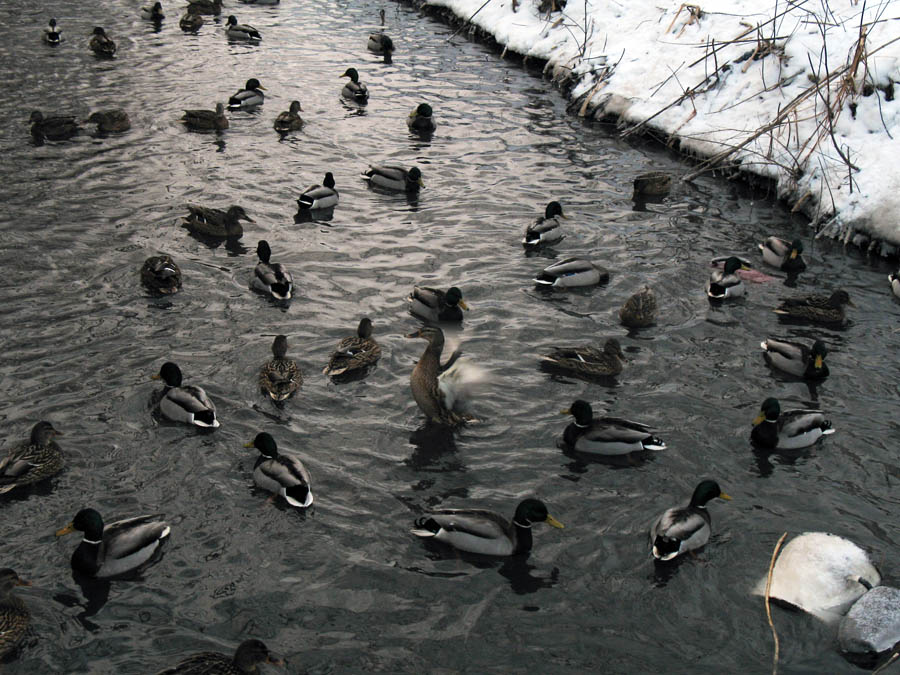 Утки на Студенце. Фото 14 января 2013 г.