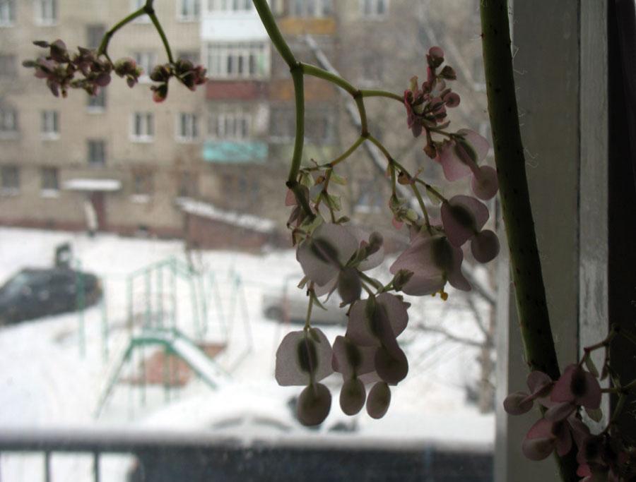 Вид из окна. Бегония. Фото 24 марта 2013 г.