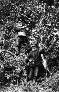 Ильиновка.Сбор яблок.1907
