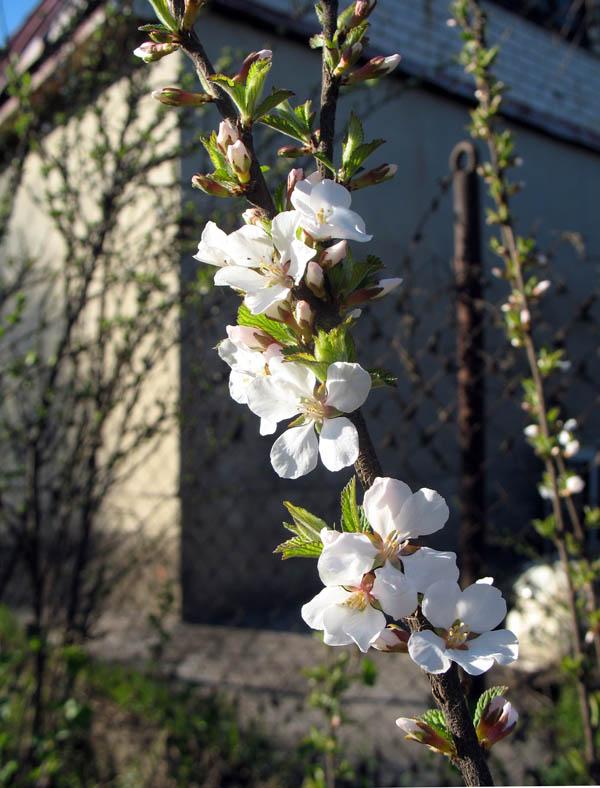 Войлочная вишня. Фото 2 мая 2013 г.