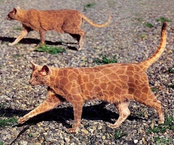 кошка раскраска пять
