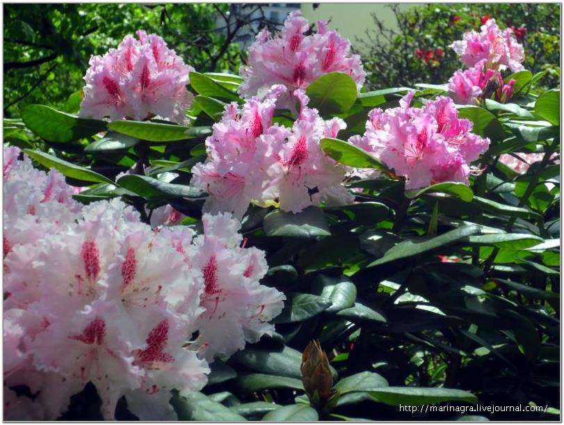 Рододендроны украшают нашу планету в