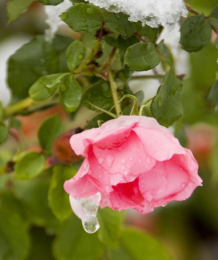 роза от Игоря
