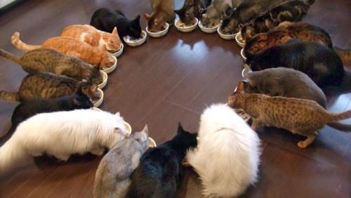tanti_gatti