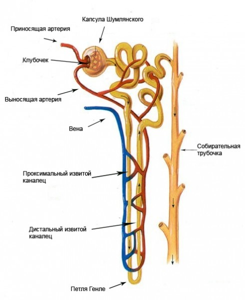 [ Kidney Diagram Nephron This Diagram ] - Best Free Home ...
