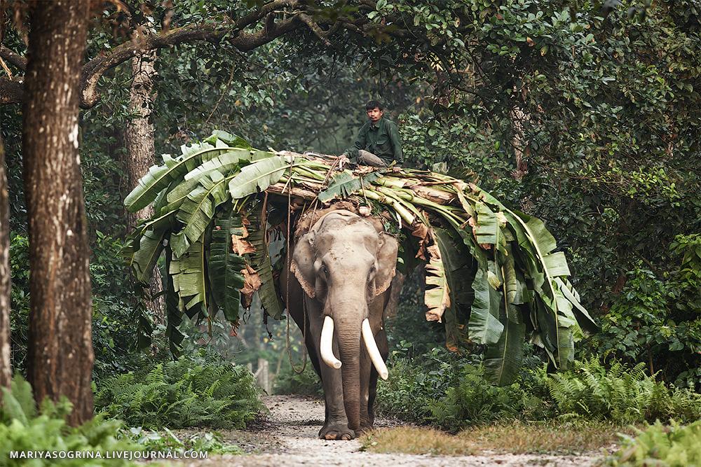 Chitwan-Elehpant-by-Mariya-Sogrina