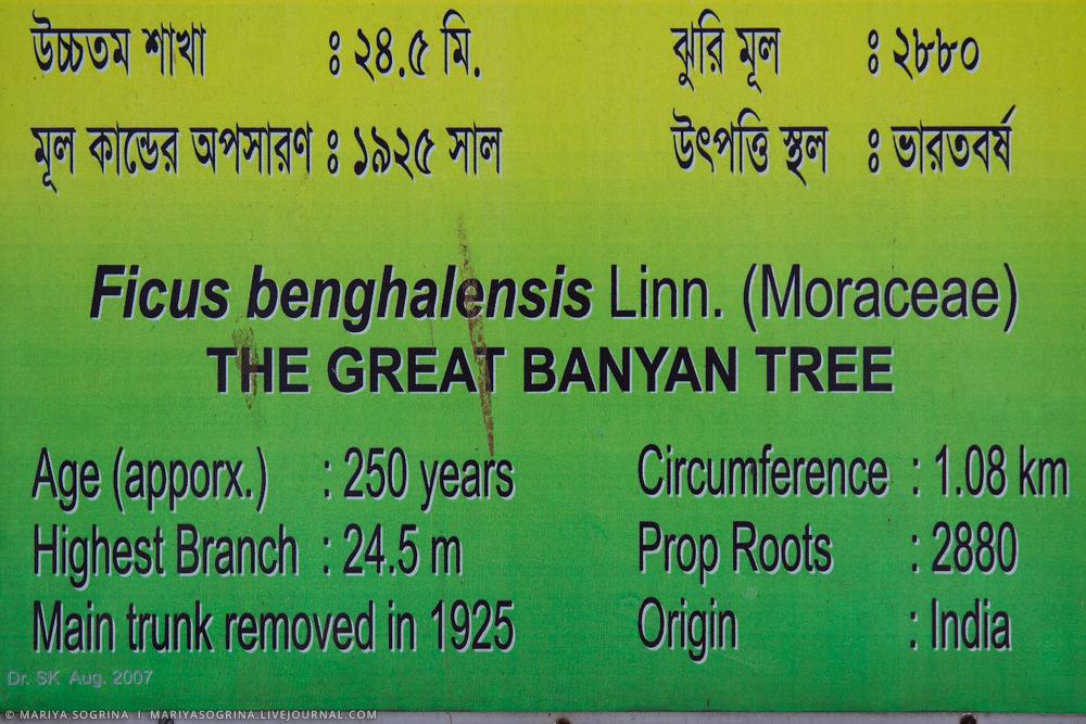 Mariya Sogrina Kolkata Great Banyan-9