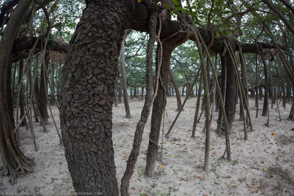 Mariya Sogrina Kolkata Great Banyan-10