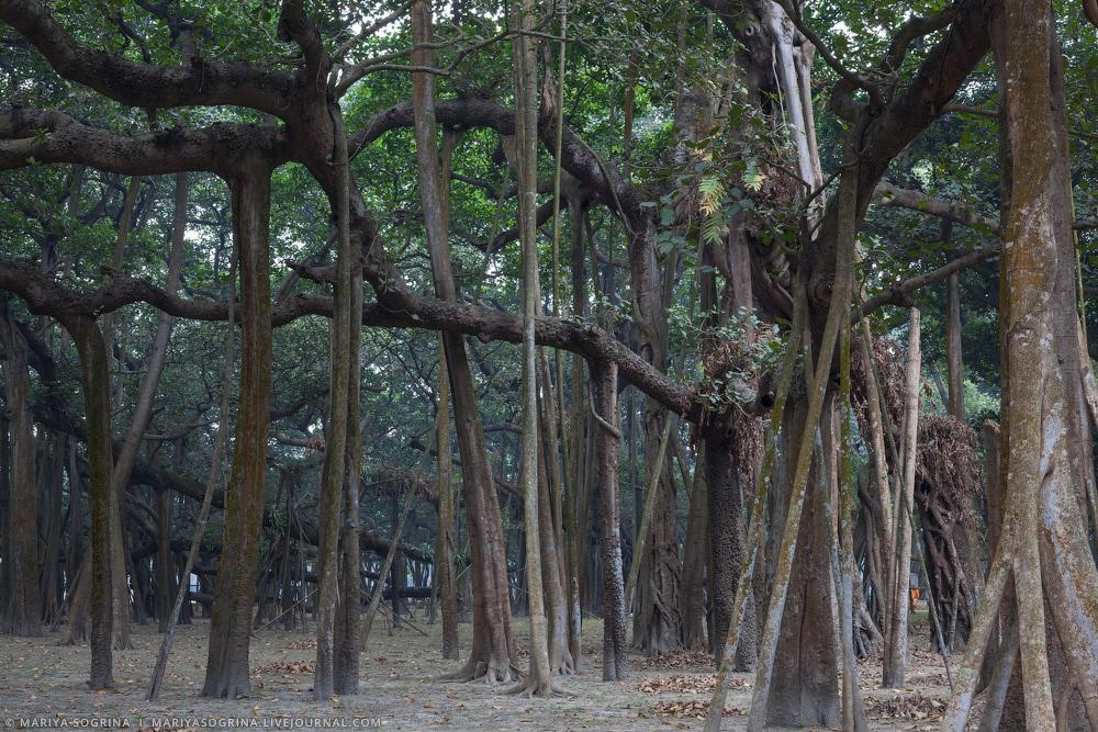 Mariya Sogrina Kolkata Great Banyan-11