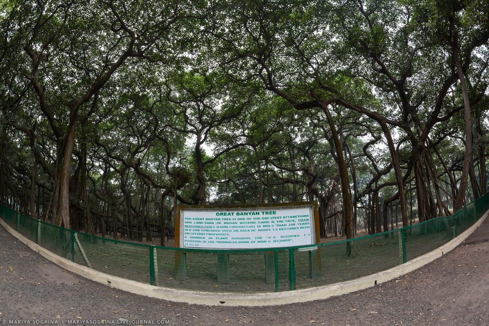 Mariya Sogrina Kolkata Great Banyan-12